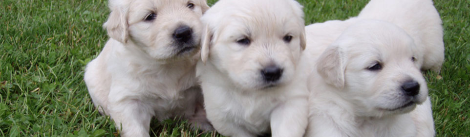 Double B Golden Retrievers Golden Retriever Puppies For Sale White